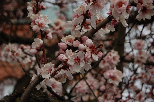 スウェーデンでも桜が!