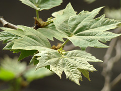 Leaves (Mehrad.HM) Tags: macro tree green leaves leaf spring branch iran sony tehran   h9    mehrad    iranianpeople sonyh9 dsch9 cybershotdsch9 mehradhm httpwwwflickrcomgroupsiranianpeople groupsiranianpeople