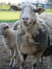 Losing wool
