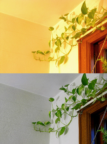 My Pothos Turned a Corner
