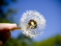 make a wish (jess hughes) Tags: summer flower dandelion seeds explore makeawish