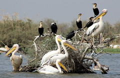Birds Galore (Alan1954) Tags: platinumheartaward senegal djoudj pelican fauna animals holiday 2012 africa platinumpeaceaward