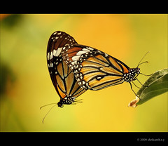The Common Tiger Mating (Danaus genutia) Must Be Seen In Large (shri :)) Tags: india closeup canon butterfly flickr bangalore sigma mating butterflymating sigma70300apomacro 450d sigmaapomacro vosplusbellesphotos shrikanthsy stripedtigermating thecommontigemating