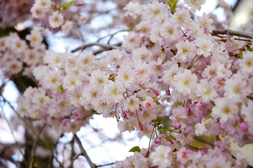 Blossoms from weeping cherry tree