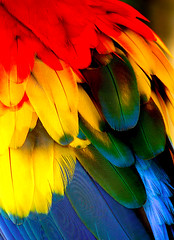 Colorfull Scarlet Macaw's Feather (tropicaLiving - Jessy Eykendorp) Tags: bali colour macro bird nature closeup catchycolors indonesia geotagged photography asia feather panoramic bec macaw blueribbonwinner supershot abigfave colorphotoaward irresistiblebeauty ysplix macroawards colourartaward artlegacy fbdg tropicaliving excapturemacro seenonflickr tropicalivingtropicallivingtropicalliving panasoniclumixdmcfz8panasoniclumixdmcfz8 jessyce geo:lon=115157318 geo:lat=8817225
