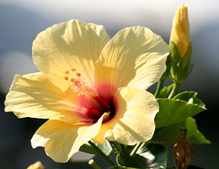 Blooming Hibiscus at the Marina at Punta del Moral (tijmenkroes) Tags: ilovenature spain hibiscus soe excellence naturesfinest blueribbonwinner puntadelmoral mywinners colorphotoaward impressedbeauty diamondclassphotographer flickrdiamond happinessconservancy awesomeblossoms