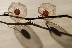 Double delight (a kind of sparkle) Tags: autumn shadow bravo 100v10f physalis chineselantern themoulinrouge 250v10f naturesgallery abigfave artlibre 200750plusfaves superbmasterpiece infinestyle flickrphotoaward