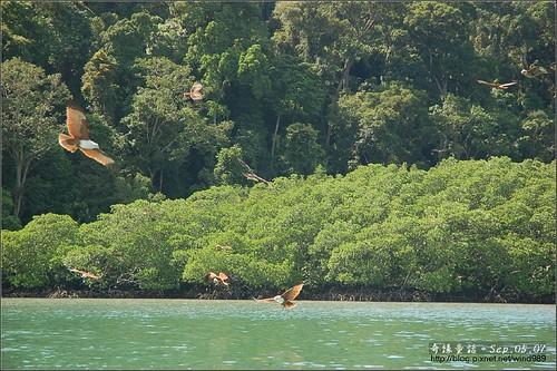 DSC_4446蘭卡威紅樹林保護區老鷹