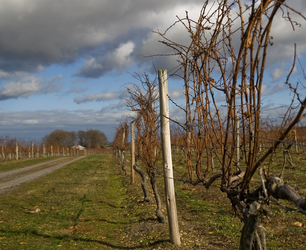 winter vinyard, North Fork