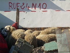 sheeps for Aïd's feast (Corinne Béguin) Tags: sheep morocco maroc casablanca moutons aïdelkebir