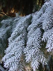 Gemener Winter III (xmyrxn) Tags: schnee trees winter sun snow tree ice germany deutschland frost nrw hoard eis sonne bäume sunbeam baum nordrheinwestfalen sonnenstrahlen münsterland tannenbaum borken tanne reif gemen rauhreif xmyrxn