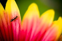 Ant (Mohammed Alnaser) Tags: flower macro nikon flickr ant tube sigma mohammed saudi extension saudiarabia flickrpro  ksa d300 105mm flickrphoto kenko   flickrphotos  extensiontubes      khayal   flickrsite alnasser  alnaser  nikond300  mohammedalnaser  mohammedalnasser