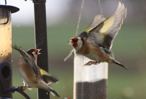 Goldfinches fighting.