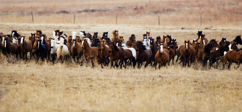 gathering mares 077