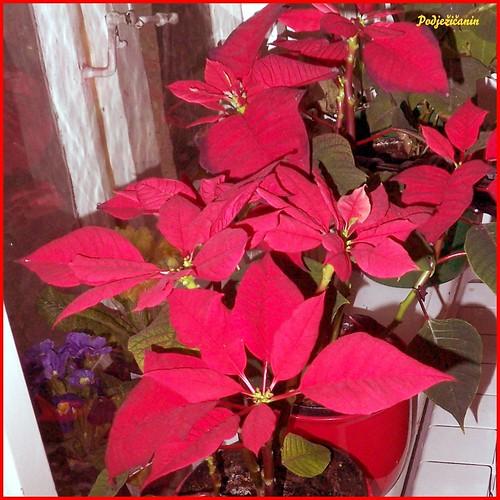 Božićna zvijezda - Christmas flower/Poinsettia by podjezicanin.