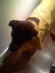 time to go (rsttm) Tags: dog raincoat kayla rottie