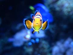 Nemo (youneverknowphotography) Tags: blue orange fish water coral aquarium nemo