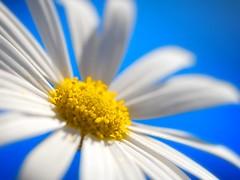 [フリー画像] 花・植物, ヒナギク・デイジー, ホワイトフラワー, 201004030700