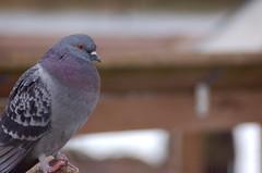 Phat pigeon 2 at Flickr.com
