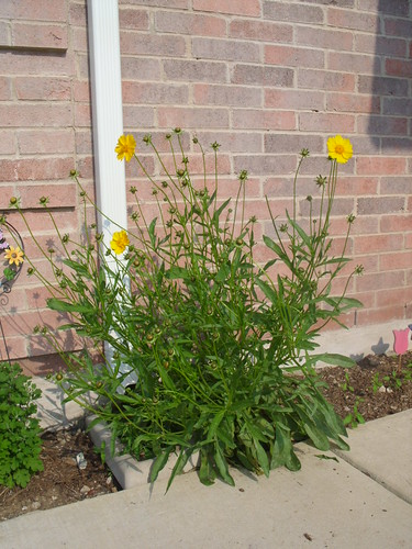 A Healthy Coreopsis