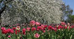 Cherry tulip heaven (langkawi) Tags: pink white berlin ilovenature others cherries tulips blossoms rosa sakura langkawi tulpen tulipan kirschblüte naturesfinest britzergarten abigfave qualitypixels