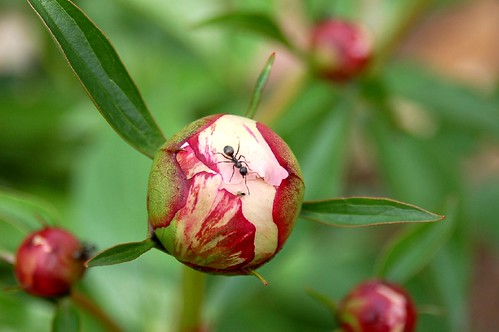There's an Ant on my Peony