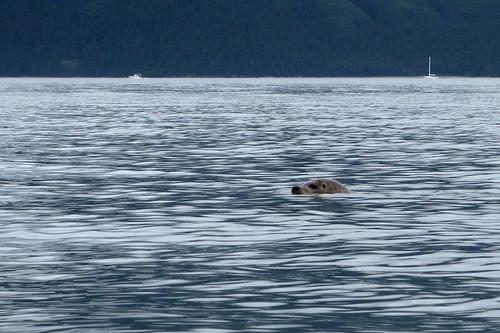 Harbor Seal in Resurrection Bay