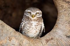 Spotted Owlet (Will Burrard-Lucas   Wildlife) Tags: india bird photography owl birdofprey kanha spottedowlet