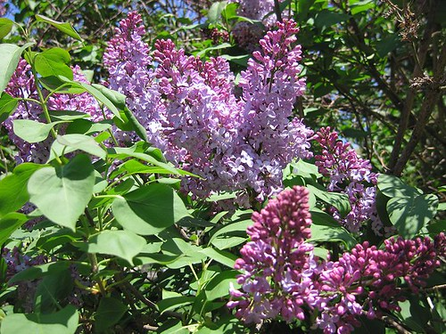 Lilacs, Spring 2011. by Leenechan