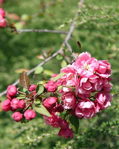 apple blossom3