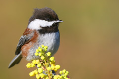 Chestnut-backed Chickadee (janruss) Tags: friends bird birds chickadee sensational defenders polaris birdwatcher ogm themoulinrouge chestnutbackedchickadee topshot thebigone poecilerufescens simplythebest supershot amazingtalent 50faves birdphoto 35faves specanimal wingedwonders animalkingdomelite naturesgallery mywinners abigfave goldmedalwinner colorphotoaward avianexcellence megashot superhearts empyreananimals photofaceoffwinner platinumheartaward wonderfulworldmix excapture empyreanelite themacrogroup bestofanimals goldwildlife thegoldendreams goldstaraward world100f exquisiteimage obq 100commentgroup oraclex exphoto colorphotoawardbronze colorphotoawardsilver colorphotoawardgold thewonderfulworldofbirds thecelebrationoflife janruss janinerussell