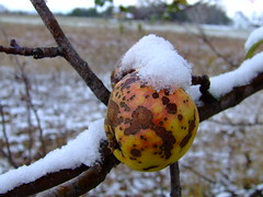 Snow! on apples!