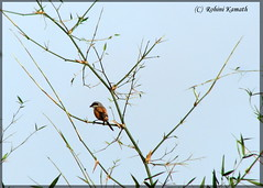 HL-LongTailedShrike