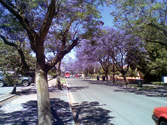 Jacaranda trees in blossom