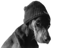 dog in the hat (saikiishiki) Tags: blue portrait bw dog chien white black love film dawg k analog darkroom grey asahi pentax k1000 ghost gray hound hond perro hund weimaraner kawaii analogue onwhite  1000  perra inu omoshiroi weim greyghost bwfilm  squidoo vorstehhund 20f blueweimaraner weimie abigfave thelittledoglaughed rolyn anjitillemans cotcbestof2007 weimaranerpaintingcom weimaranerart  bwphotogragh handdevelopedfilm handdevelopedbwprint handdevelopedbwphotograph handdevelopednegative waimarana damniwishidtakenthat blueweim weimaranerartist weimaranerphotography weimaranerphotographer saikiishiki