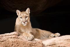 Reclining Mountain Lion (janinewhite) Tags: arizona 15fav usa cats tucson az top20catpix reclining jgoldpac mountainlion arizonasonoradesertmuseum