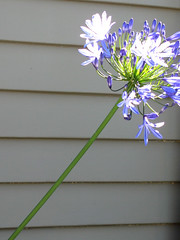 Agapanthus (princess_sears) Tags: agapanthus weatherboard