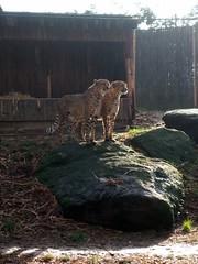 Philadelphia Zoo - Cheetahs (fkalltheway) Tags: cheetah philadelphiazoo acinonyxjubatus africanoutpost fkalltheway