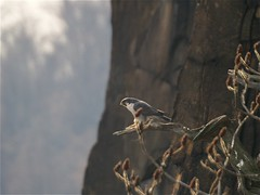 peregrine falcon stateline n.j. (undertheturnpike) Tags: falcon peregrine naturesfinest onlythebestare distinguishedraptors wildperegrine distinguishedraptorshttpwwwflickrcomgroups644649n21