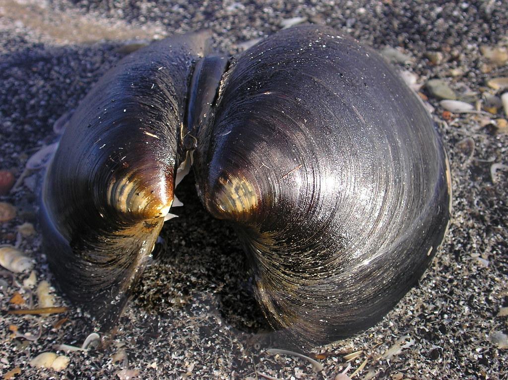 Arctica islandica - cocosen fawr