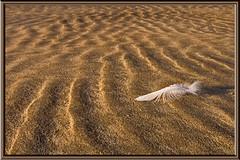 Feather or Prawn ? (K_D_B 2 Million views. Thanks) Tags: wales canon sand feather ripples pembrokeshire solva 30d kdb fineartphotos avision superbmasterpiece diamondclassphotographer styleofframepictures