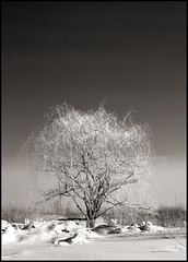A tree (DenisBouchard) Tags: winter bw tree warm quebec carbon tone zzz pictureperfect bouchard 10faves abigfave anawesomeshot treesubject theunforgettablepictures tup2 denisbouchard