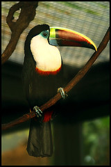 Toucan (oziflickr) Tags: its animal out zoo toucan there amazonie