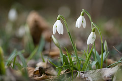 first snowdrops (*karina*) Tags: flower spring snowdrops galanthus schneeglöckchen donauauen canoneos400d canon60mmlens
