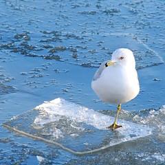 just a slight lean (gardinergirl) Tags: blue winter white toronto cold ice river seagull beak floating resigned naturesfinest webbedfoot mywinners abigfave mariecurtispark impressedbeauty theresanotherlegtuckedupthere butimguessingthisfellowwaskeepingitwarm
