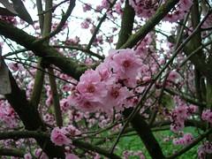 plumblossoms_20080223_1.jpg (faeparsons) Tags: flowers blossoms plumblossoms