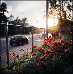 unikot - poppies (sikaheimo) Tags: sunset summer sun film helsinki d poppy poppies medium format yashica 2007 yashicad unikko unikot dreamsoflight unikkoja