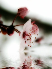 plum blossom (jodi_tripp) Tags: flood blossom plum orton joditripp spring08 challengeyouwinner wwwjoditrippcom photographybyjodtripp