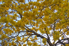 Yellow explosion (Esparta) Tags: naturaleza tree nature yellow arbol amarillo mexico:state=guerrero mexico:estado=guerrero mexico:state=gro mexico:estado=gro
