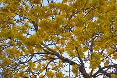 Yellow explosion (Esparta) Tags: naturaleza tree nature yellow arbol amarillo mexico:state=guerrero mexico:estado=guerrero mexico:state=gro mexico:estado=gro